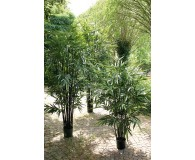 Bambus mit schwarzen Stielen
