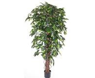 Ficus Benjamini Multistamm